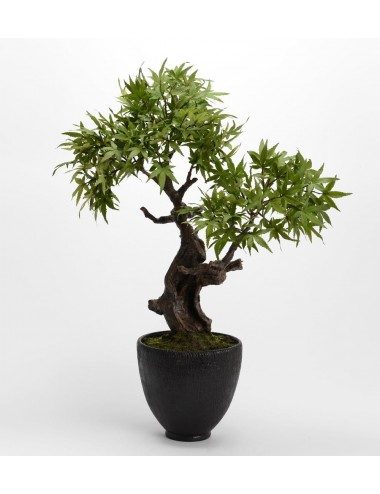 BONSAI ERABLE JAPONICA